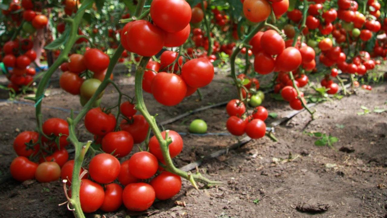 Посадка и выращивание помидоров в теплице: обзор технологии от А до Я