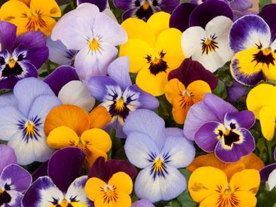 Семена цветов Анютины глазки