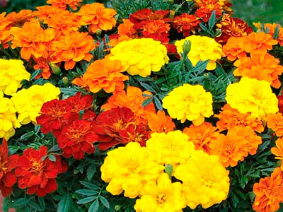 Семена цветов Бархатцы