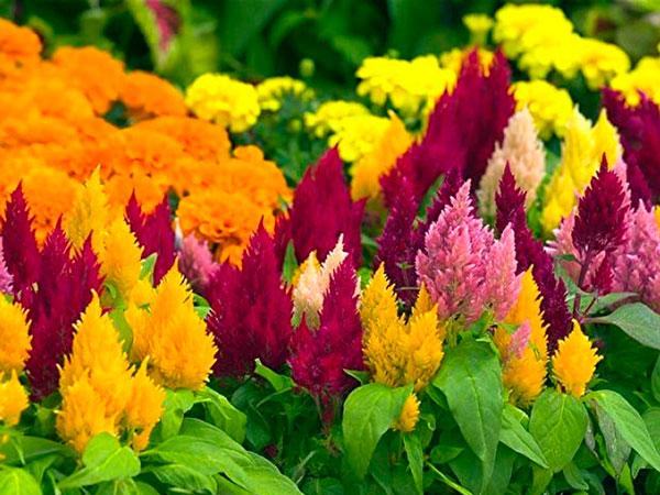 Семена цветов Целозия