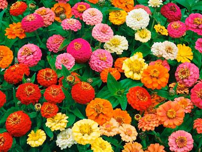 Семена цветов Цинния