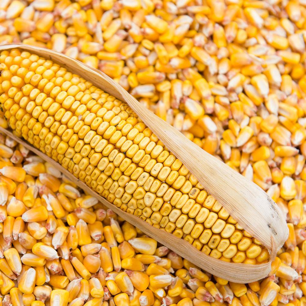 Семена кормовой кукурузы