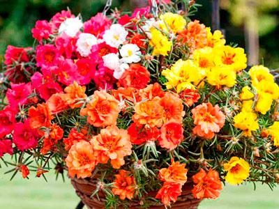 Семена цветов Портулак