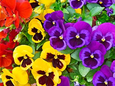 Семена цветов Виола