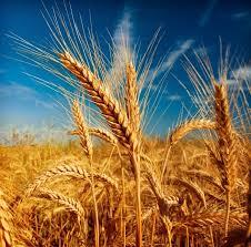 Началась сборка зерновых культур